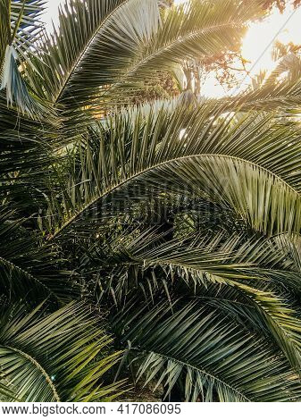 Sun Shines Through Palm Tree Leaves. Tropical Tree With Fresh Green Foliage.