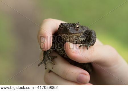 A Small Frog Or Toad With Warts In The Hands Of A Person. Funny Toad Meme.