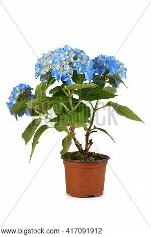 Perennial Flowering 'hydrangea' Plant With Blue Flowers In Flower Pot Isolated On White Background