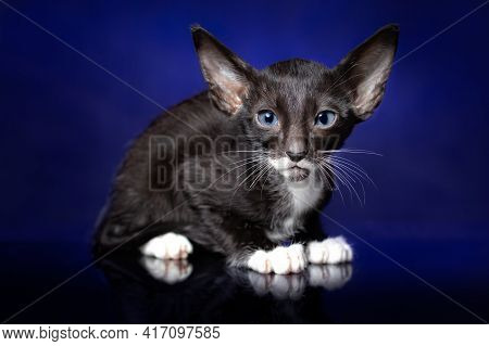 Oriental Cat Breed's Kitten Of Bicolored Black (ebony) And White Color With Blue Eyes Is Sitting Aga