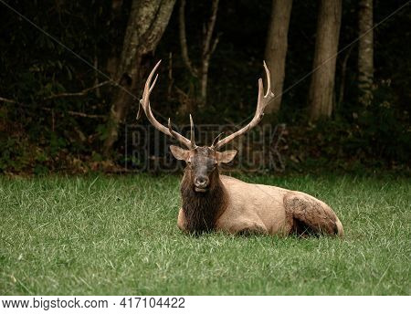Sitting Bull Elk Stares At Camera In A Field Along The Blue Ridge Parkway