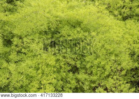 The Picture From The Top View Of Leaf Green Bamboo Is The Background From  Nature, Seamless Leaf Bam