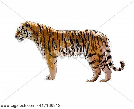 Tiger From A Splash Of Watercolor, Colored Drawing, Realistic. Vector Illustration Of Paints