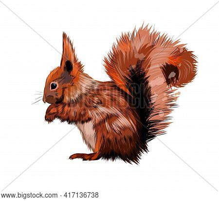 Eurasian Red Squirrel From A Splash Of Watercolor, Colored Drawing, Realistic. Vector Illustration O