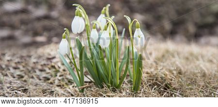 Blooming White Snowdrops.the Concept Of The Onset Of Spring