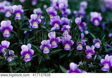 Pansies, Purple Garden Violets In Bloom. Ornamental Plants. Botany.