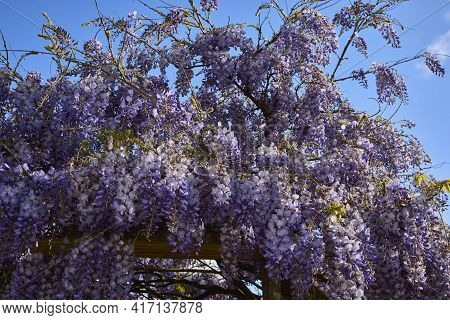 Wisteria Flower Is A Genus Of Flowering Plants In The Legume Family, That Includes Ten Species Of Wo
