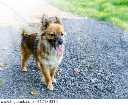 Adorable Amazing Healthy And Happy Adult Dog On The Walkway On A Sunny Summer Day. Copy Space