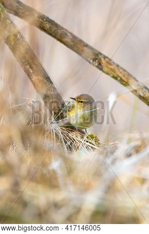 Small Song Bird Willow Warbler (phylloscopus Trochilus) Sitting On The Branch. Little Songbird In Th