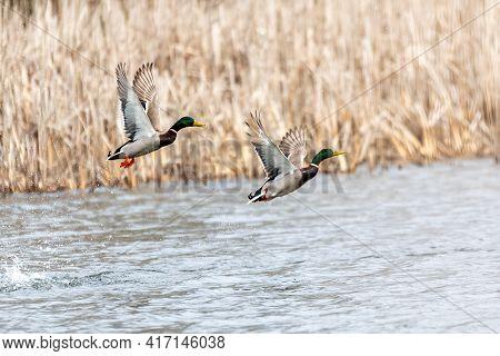 Flying Couple Of Duck Over The Pond. Wild Bird Mallard (anas Platyrhynchos) In Countryside. Czech Re