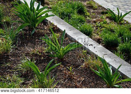 Exotic-looking Tubers Of Tall Flowers Of Prairie Origin Grow In The Flowerbed. Cosmic-looking Sprout