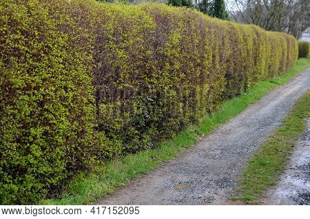 Hedge Of Shrubs Is Usually Up To 2 M High. The Shrub Is Dense, Long Branches Half Overhanging. It Ha