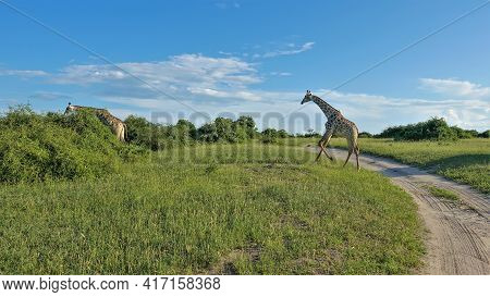 One Giraffe Runs Across A Dirt Road, Another Grazes In Green Bushes. Blue Sky With Beautiful Clouds.
