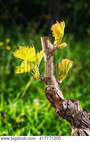 Young Shoots On The Branches Of The Vine In Spring. Agriculture.