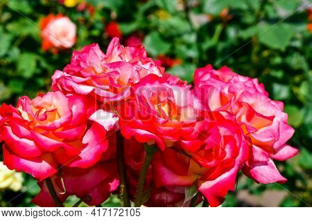 Inflorescence Of Bright Two-tone Pink-white Roses. Beautiful Natural Flower Bouquet On A Flower Bed