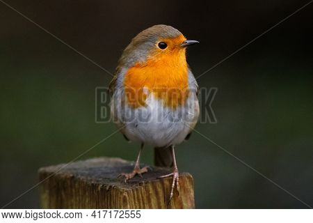 A Closeup Of A European Robin Sitting On A Wood In A Garden With A Blurry Background
