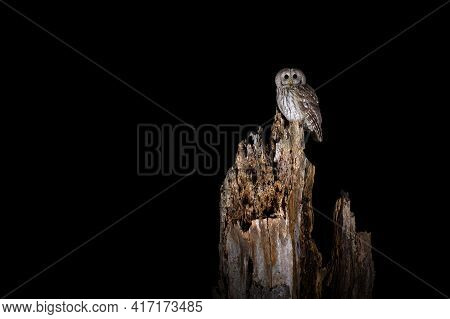 Night Tawny Owl In The Forest (nature Reserve Brdy)