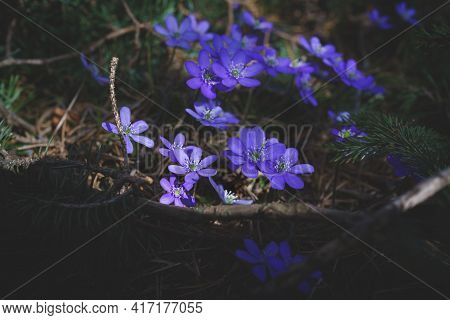 Wild Blooming Purple Sunlit Liverwort Flowers In The Forest As The First Flowers In Springtime, Aust