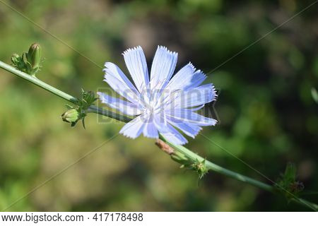 Common Chicory Or Cichorium Intybus Flower Blossoms Commonly Called Blue Sailors, Chicory, Coffee We