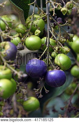Blue Fruits Of The Australian Native White Beech Tree, Gmelina Leichhardtii, Family Verbenaceae. End