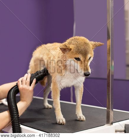 Shiba Inu Dog In The Groomer Salon. The Groomers Hands Dry The Wet Wool With A Hair Dryer After Wash