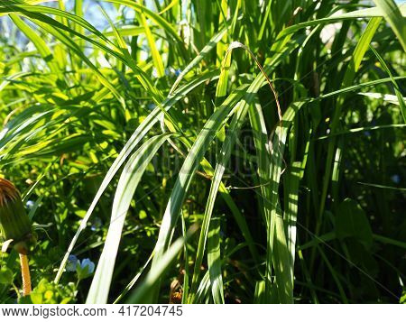 Long Grass Meadow Closeup With Bright Sunlight.