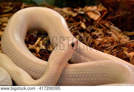 Close Up Of A White Snake In The Terrarium