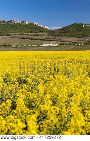 oilseed rape, Palava, Southern Moravia, Czech Republic