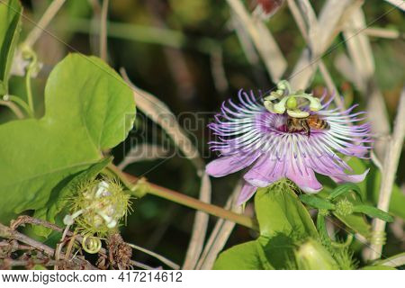 Bee Pollenating A Passionflower Growing In The Wild