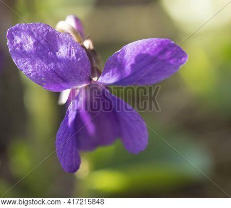 Close Up Macro Single Beatiful Blooming Violet Flower , Viola Odorata Or Wood Violet, Sweet Violet W