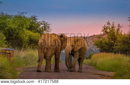 Two African Elephants Fight On The Road In Pilanesberg National Park During A Safari