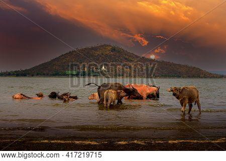 Buffalo Herd Soak In The Water At Pasak Jolasid Dam