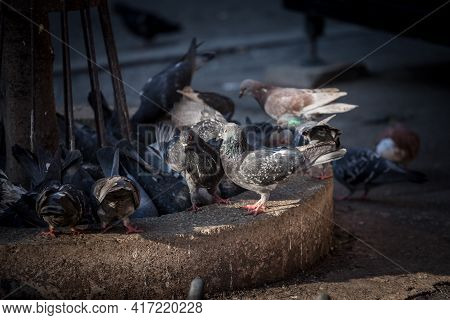 Flock And Group Of Pigeons, A Crowd, Rock Dove, Domestic Pigeons, Gathering Looking For Food On The