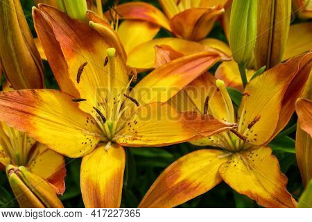 Flower Bed With Flowers In Garden. Yellow-red Daylilies (latin: Hemerocallis) Close Up. Selective Fo