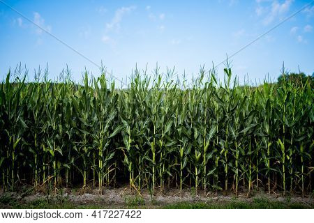 A Beautiful Shot Of Cornfield With A Blue Sky In The Background