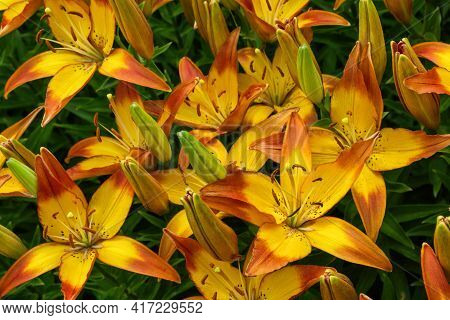 Flower Bed With Flowers In Garden. Yellow-red Daylilies (latin: Hemerocallis) Close Up. Soft Selecti