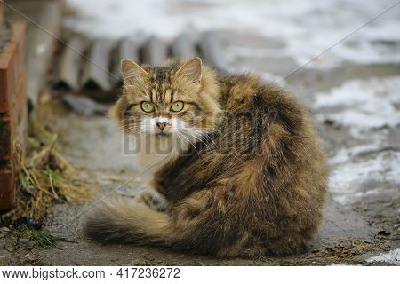 Portrait Of A Large Fluffy Cat With Large Yellow-green Eyes. Tricolor Fluffy Cat Looks At Me, Winter