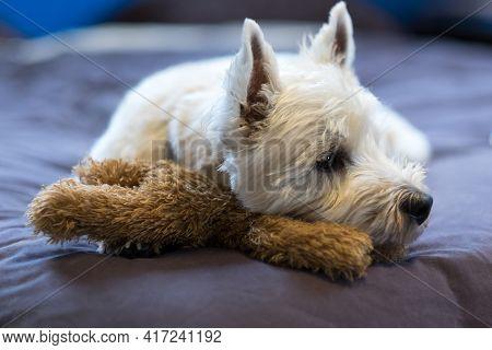 Sad West Highland White Terrier Dog Cuddling Teddy Bear Toy Looking Sideways - Shallow Depth Of Fiel