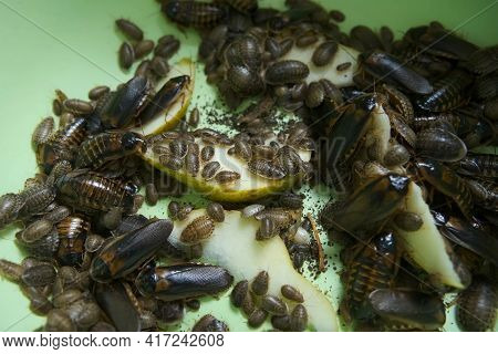 Many Argentine Cockroaches Small And Large Crawl In The Green Plastic Pelvis, Closeup View. They Are