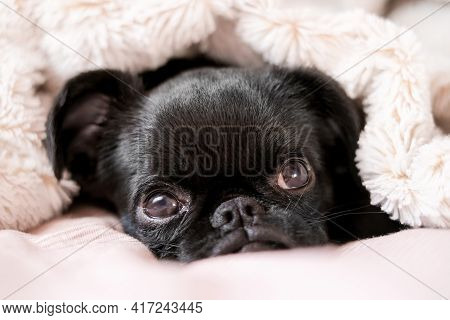 Portrait Of Laying In A Bed Black Puppy Dog Petit Brabanson, Griffon. Cute Face With Big Eyes  At Li