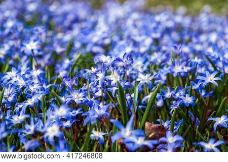 Glory-of-the-snow Blue Squill Flowers On Spring Meadow