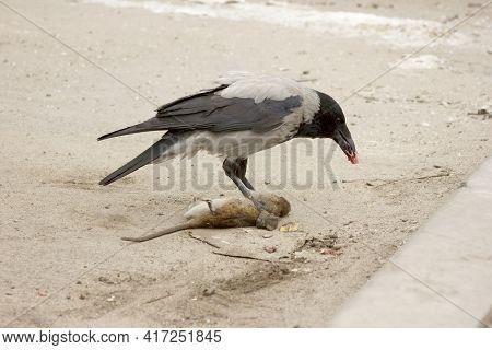 A Gray Crow Eats A Dead Gray Rat. Corvus Corone Cornix And Rattus Norvegicus. Urban Scene On The Par