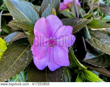 Soft Purple Flower With Green Foliage In The Spring