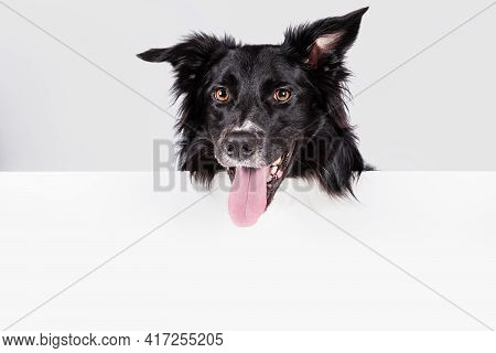 Happy  Border Collie With A White Banner Or A Poster In Front Of Him, Isolated. Card Template With P
