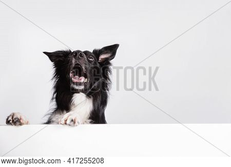 Happy Surprised  Border Collie Dog Looking Up With A White Banner Or A Poster In Front Of Him, Isola