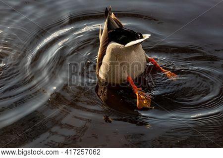 Mallard Duck Male Diving In Water. Mallard Duck Feeds In Dark Water. Mallard Duck Butt In Dark Circl