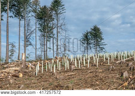 Chopped Woodland New Plantation Germany Replanted With New Sapling Deciduous Trees Protected With Pl