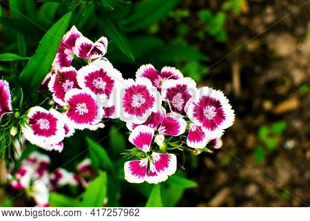 The Turkish Carnation Blossoming In The Park. Close-up Of Red Or Burgundy Turkish Carnation.
