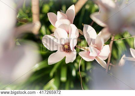 Blooming Spring Magnolia Tree. Beautiful Close Up Magnolia Flowers. Selective Focus.