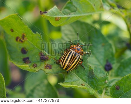 Colorado Beetle Sitting On A Pitted Potato Leaf. Focus On The Pest's Head. Bug Eating A Plant. Close